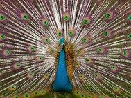 Самец индийского павлина. Фото: Vidhya Narayanan