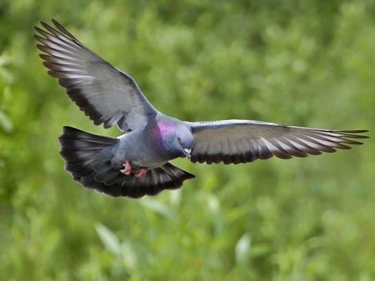 Сизый голубь (Columba livia) в полете