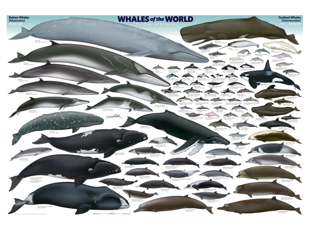 an overview of the scientific order of whales cetacea The word cetacean is derived from the latin cetacea, the scientific name for the order of marine mammals that comprises whales, dolphins and porpoises two suborders of cetacea exist today: mysticeti, or baleen whales, are characterised by having baleen plates for filtering food from the water, rather than teeth.
