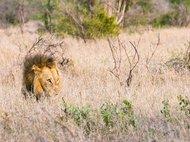 Самцы львов предпочитают нападать из засады