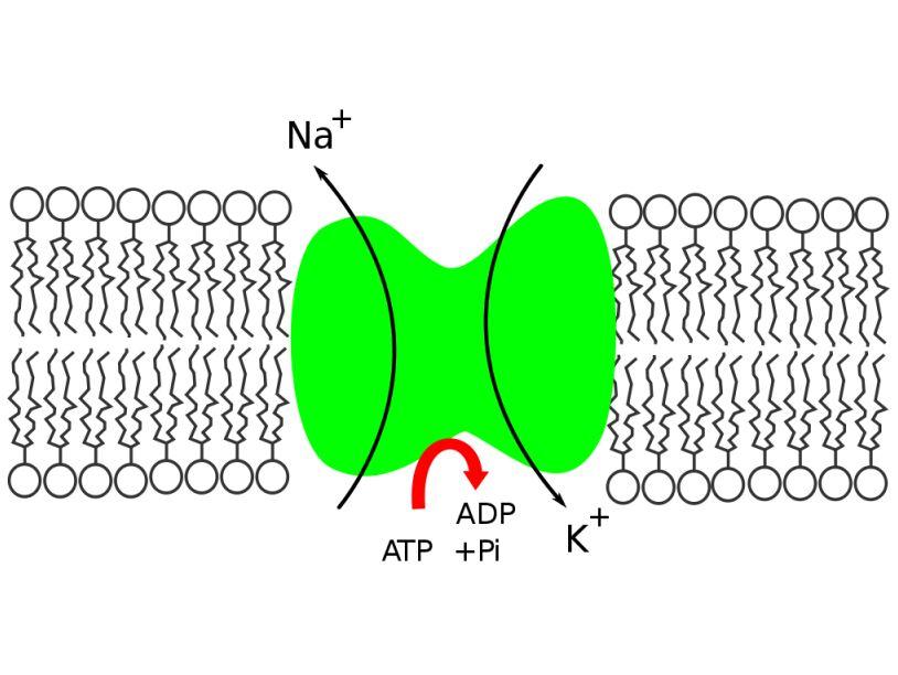 Ученым удалось объяснить механизм переноса ионов натрия и калия в клетку и... натрий-калиевый насос.