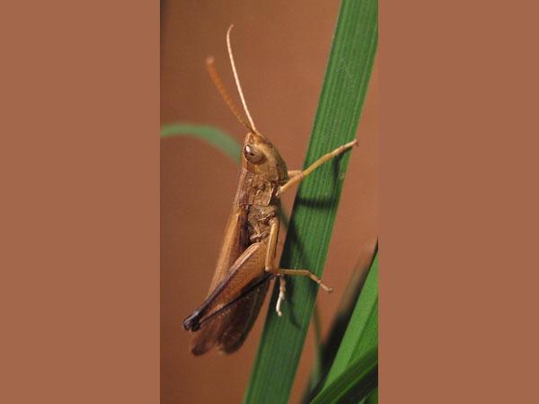 Кобылка - насекомое из семейства саранчовых