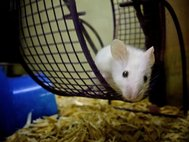 Мышь в колесе
