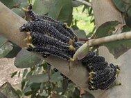 Личинки Perga affinis