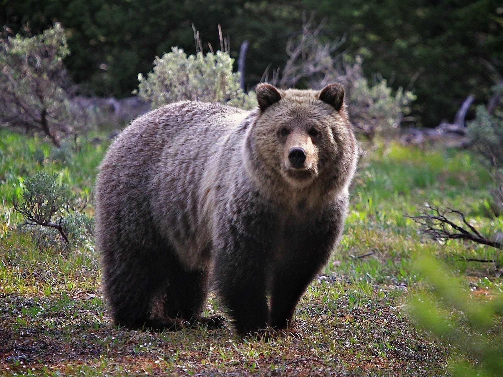 Детский секс с медведем