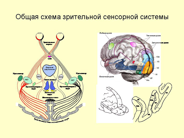зрительной системы