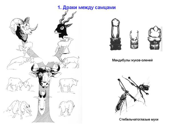 Фото крупным планом полового органа оленя самца фото 608-88