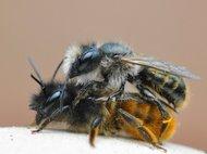 Osmia bicornis