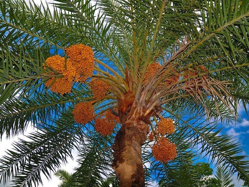 как выглядит финиковая пальма
