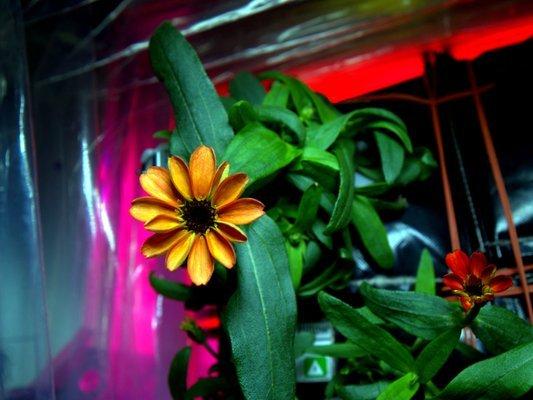 Цветок астры-циннии на борту МКС