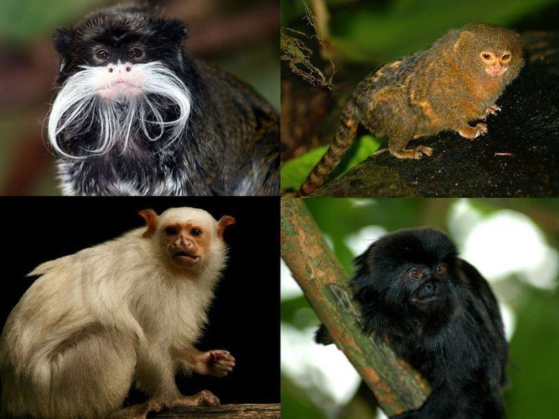 Некоторые обезьяны Южной Америки