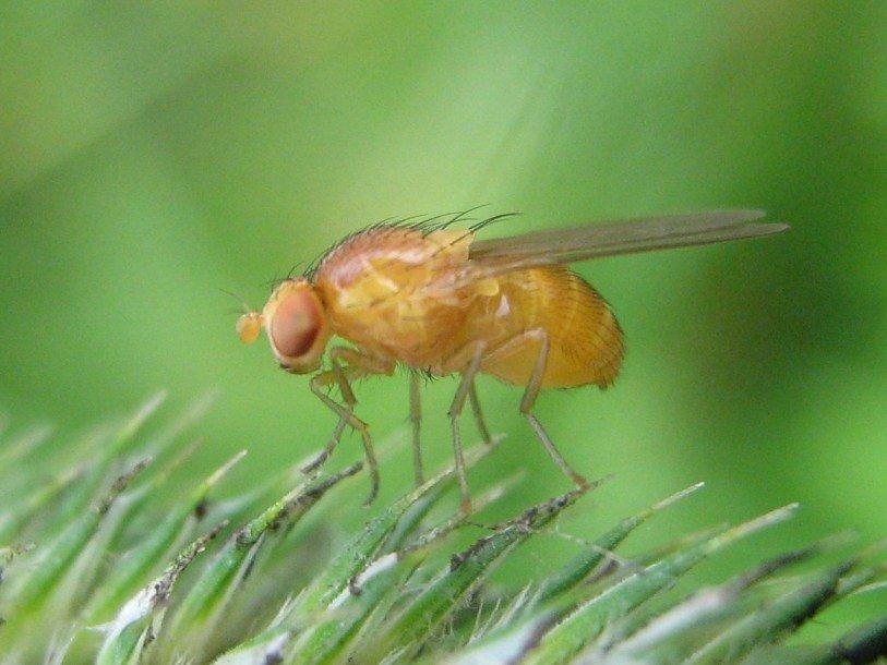 Выявлены генетические основы долгожительства у мух-дрозофил