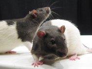 Лабораторные крысы