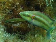 Самец и самка глазчатой зеленушки в гнезде