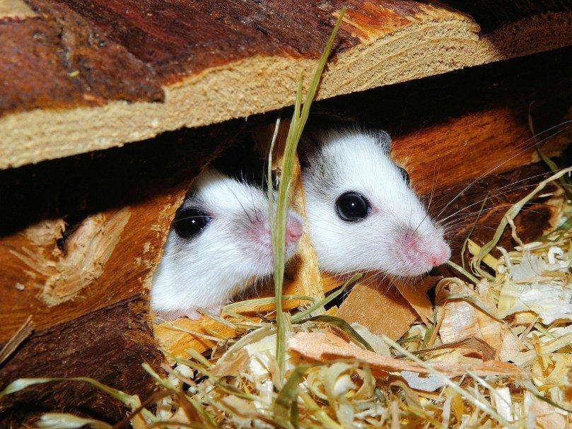 Ученые: мыши всостоянии сострадать сородичам