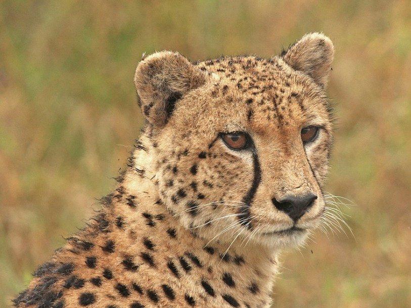 Законно ли заводить гепарда