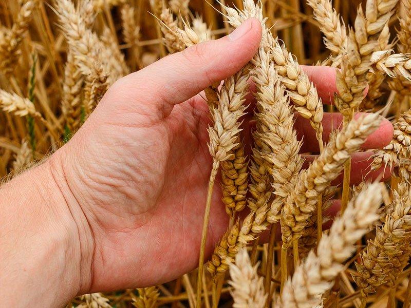 Урожай пшеницы вРФ обвалил американский рынок зерна