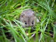 Ученые обнаружили цепь нейронов в мозге мышей, активация которой превращала робких грызунов в смелых