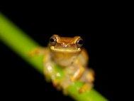 Древесная лягушка (Dendropsophus ebraccatus)