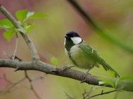Восточная синица (Parus minor)