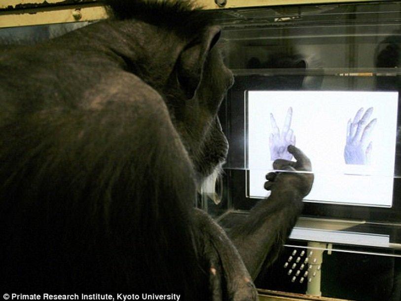 Дочего дошел прогресс. Японцы обучили шимпанзе играть в«камень, ножницы, бумага»