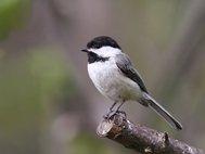 Гусеницы умеют подражать звукам нескольких видов птиц, в том числе черношапочной гаички (Poecile atricapillus)