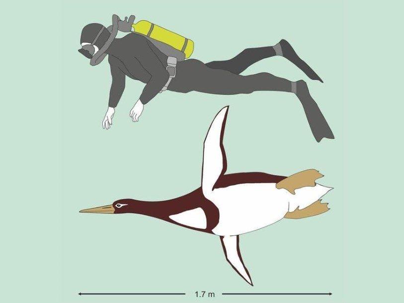 В новейшей Зеландии обнаружили останки пингвина-великана