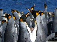 Самец и самка королевского пингвина