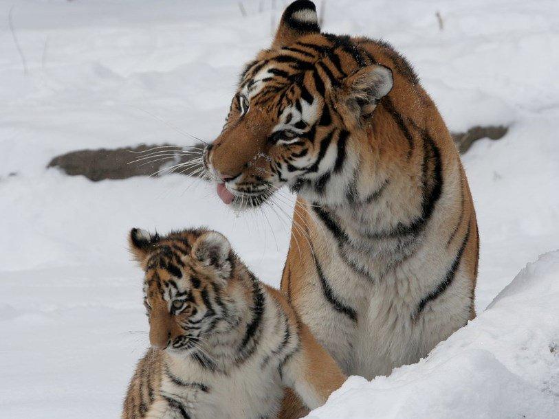 Существование шести подвидов тигра подтверждено генетическим исследованием