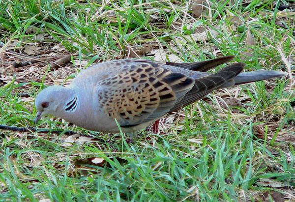 Обыкновенная горлица – птица 2019 года