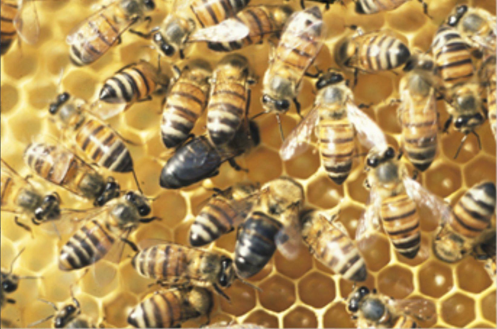 Мутация в одном гене позволяет рабочим пчелам Южной Африки размножаться