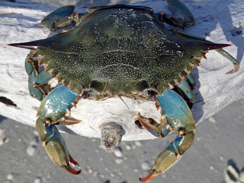 Голубые крабы мешают рыбакам Испании