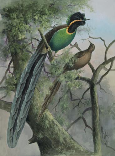 Прочитаны геномы пяти видов райских птиц