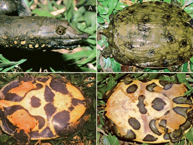 От дальневосточной черепахи отделили еще один вид