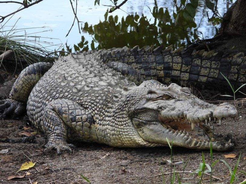 Способность австралийских крокодилов доплыть до Тимора проверяют генетики