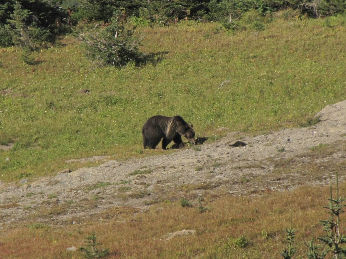 Разыскивать медведей гризли поможет черника