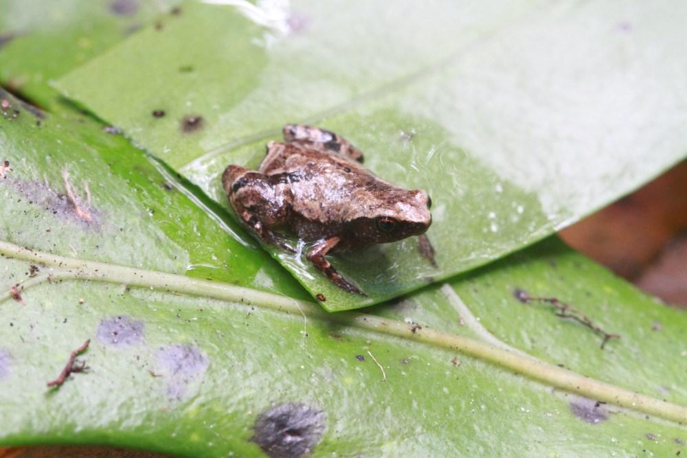Пять видов очень маленьких лягушек открыты на Мадагаскаре