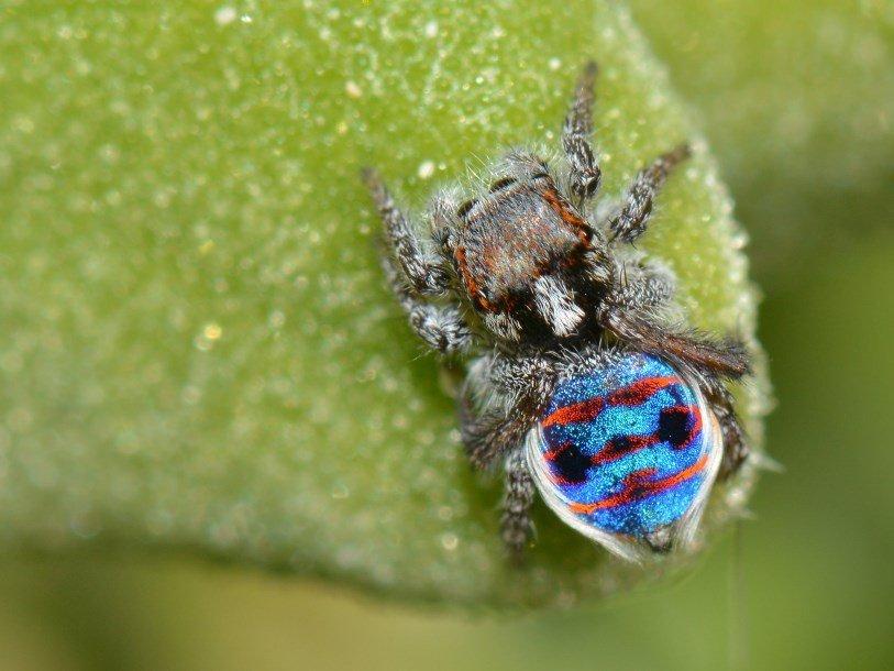 «Суперчерные» пятна делают раскраску пауков-павлинов ярче
