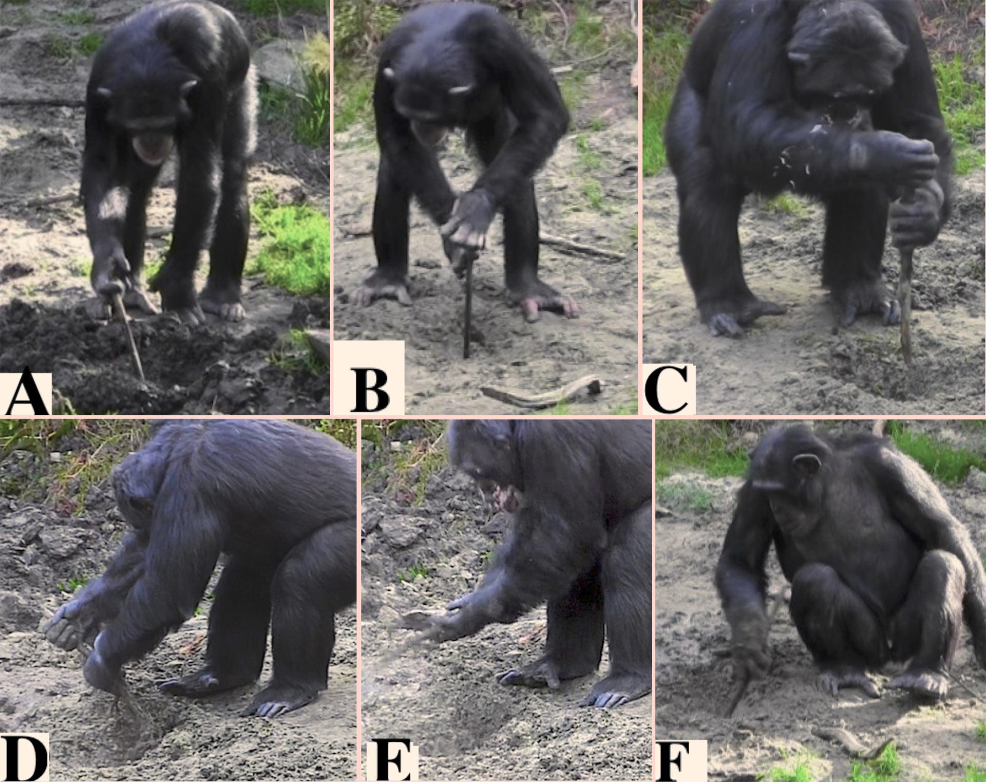 Шимпанзе используют орудия для добычи пищи из земли