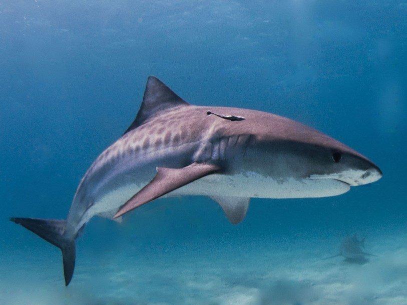 Тигровые акулы Мексиканского залива закусывают перелетными птицами