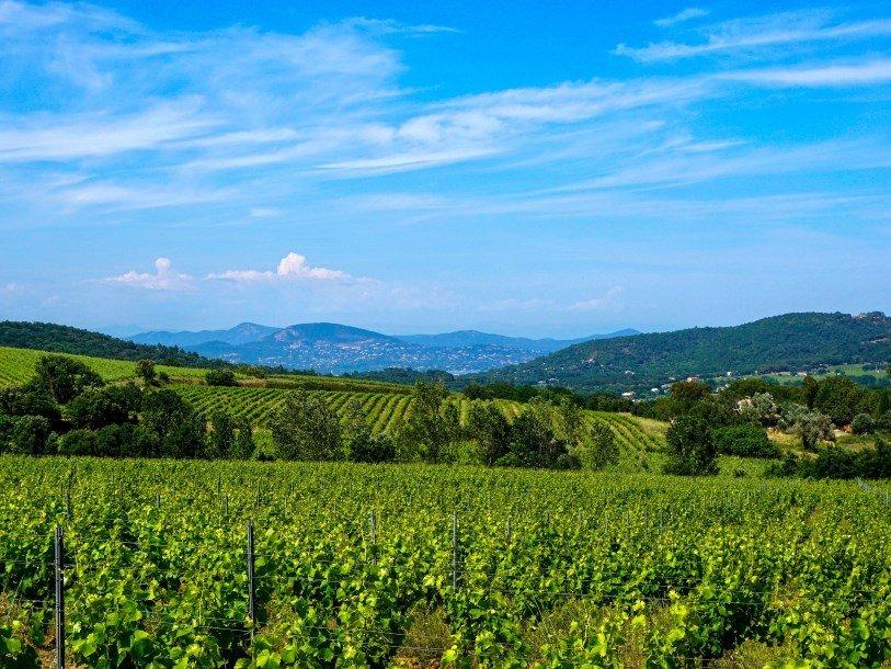 Сорт французского винограда остается неизменным уже 900 лет