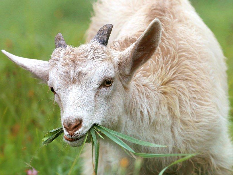 Пищеварительная система коз защищает их зубы от повреждения