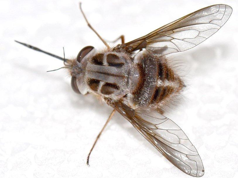 Австралийскую муху назвали в честь Короля ночи из «Игры престолов» и русского энтомолога