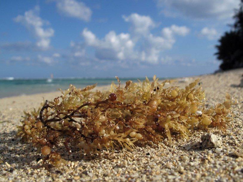 Амазонка подпитывает саргассовые водоросли в Атлантике