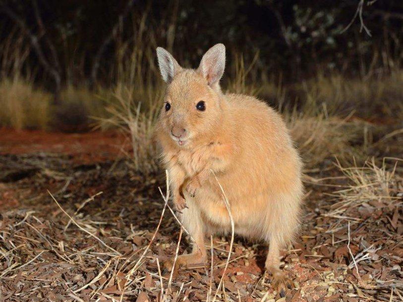 Рыжий валлаби-заяц вернулся на австралийский континент