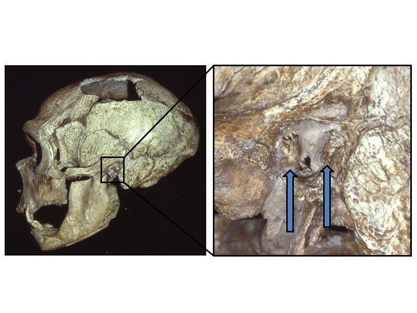 «Ухо ныряльщика» заставило учёных заподозрить неандертальцев в любви к рыбалке