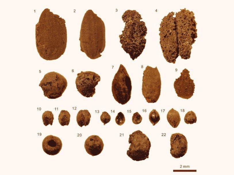 Найденные при раскопках зерна культурных растений. 1, 2 - рис